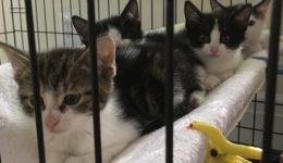 four foster kittens