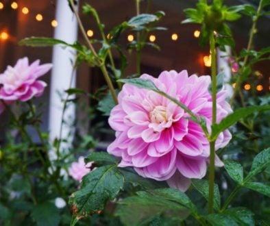 favorite pink dahlia