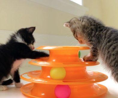 socialize foster kittens